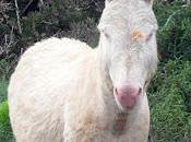 burro goma