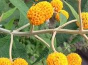 Matico. ¿Para sirve esta planta medicinal?