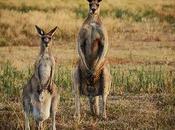 Familia Canguro