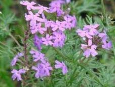Salvia guaranítica