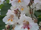 Catalpa bonito árbol flores
