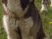 URGENTE SILVER (1año) Nórdico espectacular, pero este muerto. HUESCA (ARAGÓN)
