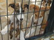 Cachorro galgo cachorro podenco perrera Jerez (Cadiz)
