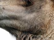 camellos tienen problema hombre