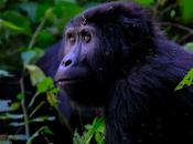 Gorila somete cirugía cataratas zoológico Diego