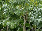 Árbol lechero cachito