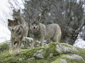 lobo sierra Huelva
