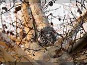 Esfinge calavera (acherontia atropos)