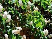 sobre rosales rosas
