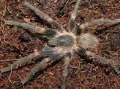 Nueva especie tarántula lleva nombre Rubén Blades