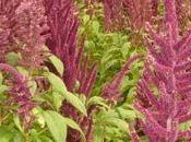 naturaleza contraataca: amaranto inca devora transgénicos Monsanto