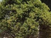 Picea Glauca proyecto asociación