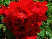 Rosas rojas cenitales jardín,