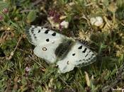 dimorfismo sexual mariposa apolo