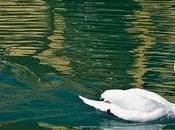 cisne salvaje