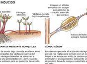 Acodo, bulbos tubérculos técnicas propagación especies