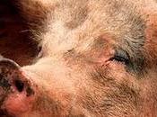 China libera reserva estratégica cerdos para combatir inflación