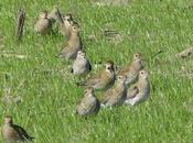 Chorlitos dorados migración
