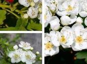 Espino blanco propiedades medicinales