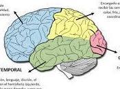 Anatomía snc: lóbulos hemisferios