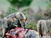 protección lobo reacciones políticas