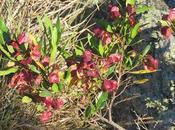 Chirca monte (Dodonaea viscosa)