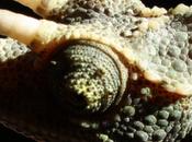 Chamaeleo Trioceros Jacksonii Xantholopus