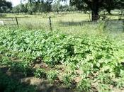 Mayo, huerto ecológico, variedades tomates