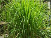Lemongrass, Cymbopogon citratus, limonaria, caña santa hierba limón. Propiedades usos esta planta