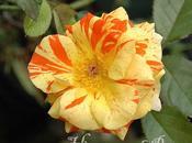 Rosas rayadas