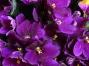 Ramito violetas. Cecilia Julio Iglesias.