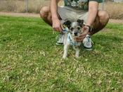 Chiro, precioso perrito tamaño peque adopción.