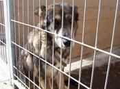 Urgente cruce pastor alemán hembra adopción perrera movera!!! (zaragoza)
