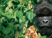 Safari observación gorilas