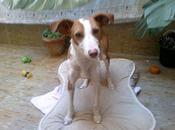 Paloma, sola calle pueblo Sevilla ¡hay salvarla!!! ¡¡¡ayuda para acogida adopción!!!