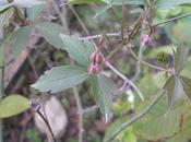 Primeras combinaciones clemátides rosas