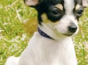 Conozca mejor raza perros Chihuahua