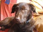 Dicon, precioso cachorro Braco alemán adopción Arca Córdoba