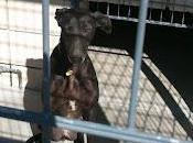 FAVOR, ACOGIDA SOLO SEMANA!!! galguita perrera, tiene adoptante pero necesita acogida SEMANA para poder castrarla antes enviarla, puede morir!!! (CÓRDOBA).