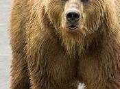 herramientas osos pardos evolución inteligencia